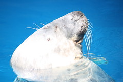 foca gris (Olaya Garcia) Tags: portugal canon eos grey gris seal algarve albufeira foca zoomarine guia pinniped grypus 1000d pinnipedo alichoerus
