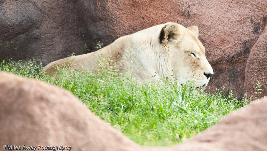 African Lion - Sleepy Time