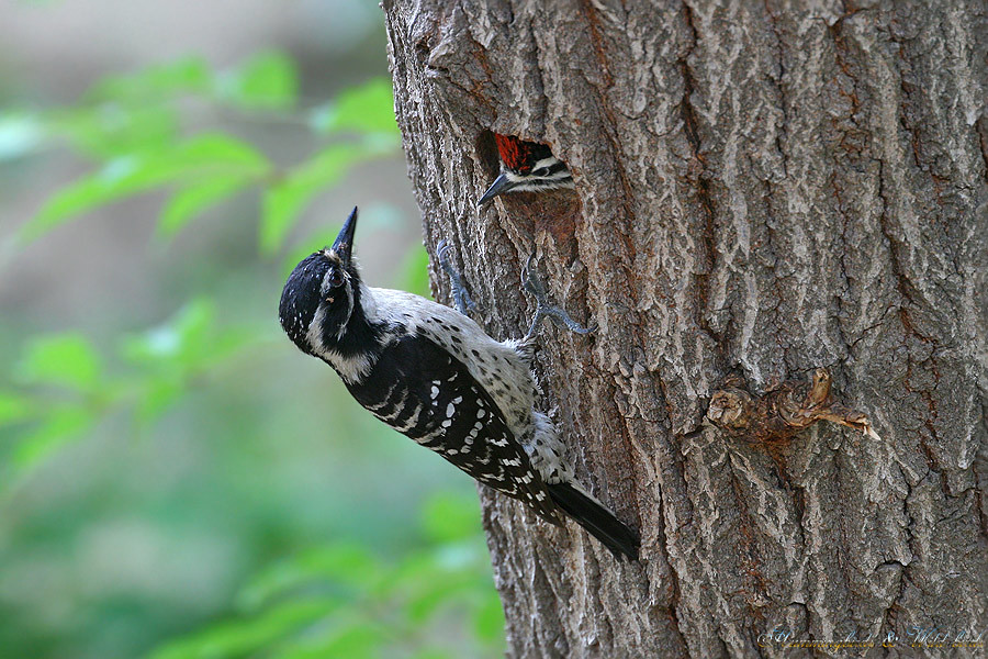Nuttall's-Woodpecker-0510-8