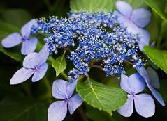 """Blue Billow"" (Lacecap Hydrangea)"