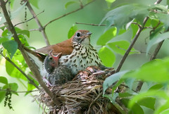 Wood Thrush and Cowbird Nestling. (Kelly Colgan Azar) Tags: county wood brown nikon pennsylvania 300mm chester nikkor f4 parasite thrush headed brood colgan azar cowbird ater nestlings molothrus parasitism hylocichla mustelina