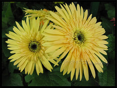 Gerbera jamesonii - light yellow rays with black central disk