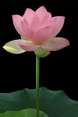 Lotus Flower - IMG_3070 (Bahman Farzad) Tags: flower macro yoga peace lotus relaxing peaceful meditation therapy lotusflower nelumbo lotuspetal nucifera lotuspetals lotusflowerpetals lotusflowerpetal