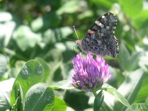 Butterfly on red clover.