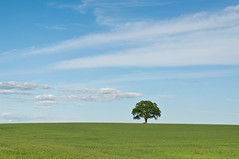 Lonely Tree in a Green Field (Brian Guest (giant rebus)) Tags: blue sky ontario canada tree green field nikon single lone markham d90