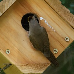 House Wren Feeding