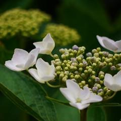 Hydrangeas (kamoda) Tags: flower japan garden hiroshima hydrangea  2010  sankeien