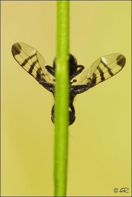 Signal flie (Rivellia syngenesiae )