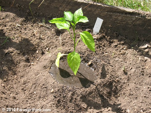 Planting Sweet Peppers 6