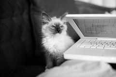 skeptical (ashley_tarr) Tags: blackandwhite cat computer mac kitten laptop otto birman