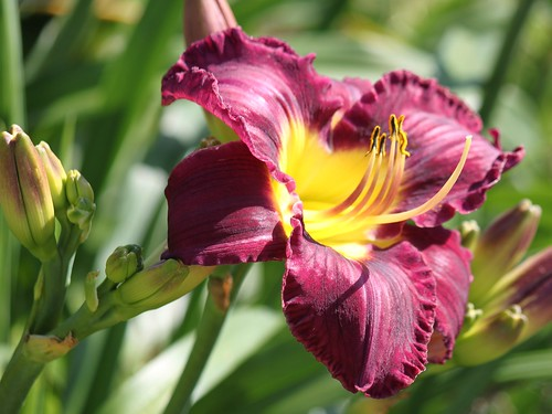 Purple/Yellow Lily