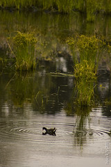 Charca (daghadma) Tags: naturaleza fauna flora pato lalaguna valleseco
