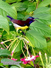 PURPLE-RUMPED SUNBIRD (Nectarinia zeylonica) - MALE (PIJUSH KANTI BISWAS) Tags: india flower male purple pb kolkata sunbird smallbird indianbirds
