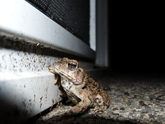 (Boats & Hoes!) Tags: eye night warts toad