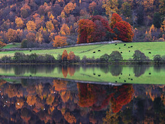 Peaceful grazing (Kenny Muir) Tags: autumn trees colour reflection grass scotland bravo cows loch grazing mieklie