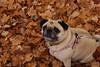 Smush Face (ThisNamesTaken) Tags: autumn canada fall dogs animals woods pug smushy
