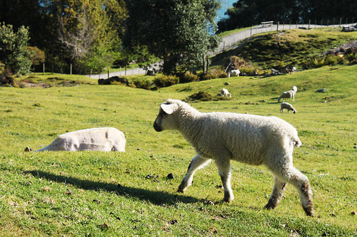 Sheep at Mount Maunganui, day four
