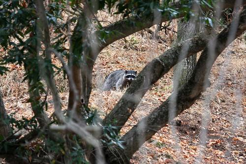 raccoon dave harper oakley