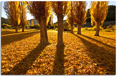 Gold (Antonio Carrillo (Ancalop)) Tags: autumn shadow espaa colour tree canon landscape hojas arbol