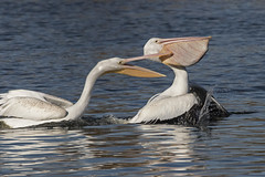 White Pelican tries to steal fish from another Pelican (Mr. D 2012) Tags: animal beak bill bird birdwatching close erythrorhynchos feathers flock foul group nature pelecanus pelican lake river sky swimming water white wild wildlife