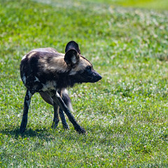 07-04-2017_D500_wilds_DSC_9076.jpg (gryphon1911 [A.Live]) Tags: painted dog bestlightphoto thewilds african blp