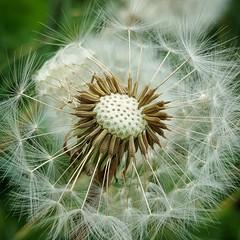 Dandelion (Geoff Fagan) Tags: dandelion flower flowers seeds macro macrophotography macrodreams closeup spring garden nature