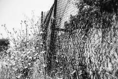 Wild things. (Dikke Biggie.) Tags: 52in2017 8wild wild wildflower wildflowers wildebloem wildebloemen flower flowers flowering bloem bloemen inbloei bloeiend happyfencedfriday hff fence fenced fencing fencedfriday hek hekwerk omheining friday vrijdag closeup detail canon canoneos450d 1750mm tamron blackandwhite bw black white zwartwit zw zwart wit monochrome monochroom dof depthoffield scherptediepte greece zakynthos