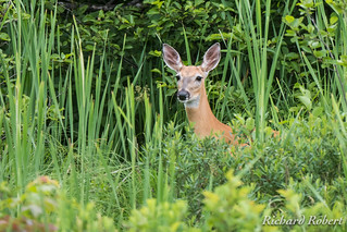 Cerf de Virginie / Whitetail deer / 30 juin 2017 P6300003.jpg