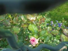 1468 (en-ri) Tags: rosellina cespuglio grata sony sonysti foglie leaves little rose erba grass fiorellini