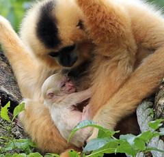 yellow cheeked gibbon artis BB2A4485 (j.a.kok) Tags: gibbon yellowcheekedgibbon goudwanggibbon artis animal aap ape mammal monkey mensaap zoogdier dier asia azie