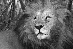 PORTRAIT OF A LION 3 B+W (Mike Reval) Tags: mara kenya bw lion animal