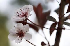 softness (eva.pave) Tags: nature flower bloom blossom tree soft pink garden park beijing china