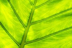Alocasia leaf (phyto.grapher) Tags: nymphenburg münchen botanischergarten deutschland allocasie allocasia leaf green