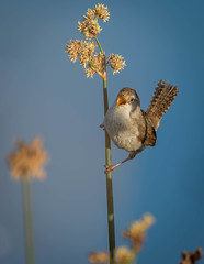 Singing My Song (~ Bob ~) Tags: song tamron nikon bluewater nature water d500 marshwren bird feisol sing washingtonstate wildlife explore