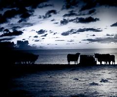 feeding time for the cornish cows at sundown.....silhouette.Cornwall Winter 09 (andybrannan) Tags: england art animals cornwall cows feeding britain getty coastline farms feedingtime gettyimages