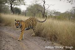 ADS_000007553 (dickysingh) Tags: wild india outdoor wildlife tiger bigcat aditya ranthambore singh ranthambhore dicky naimal adityasingh ranthamborebagh theranthambhorebagh goldwildlife wildcatworld wwwranthambhorecom