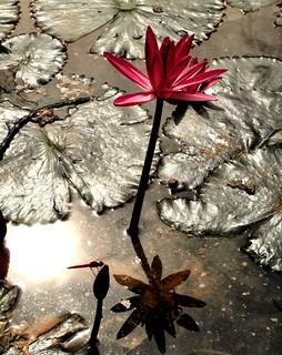 Brightly dark. Nymphaea rubra Roxb. (Red Water Lily), Taman Botanikal Melaka, Ayer Keroh, Melaka, Malaysia