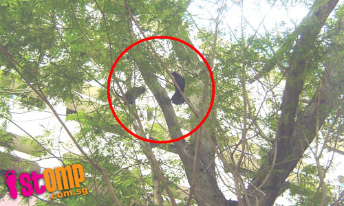 Kung Fu monkey fights off crows in tree