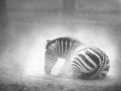 Grrr !! Zebras are black and white...hmphhh !! ( Enchnres ) Tags: blackandwhite india animals stripes wildlife zebra bnw winters hooves indianwildlife sapnasapien