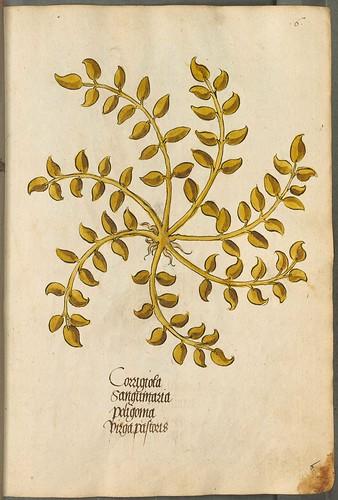 Arzneipflanzenbuch, 1525