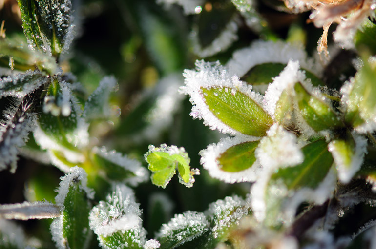 web_frost_wideleaves_0126_2432