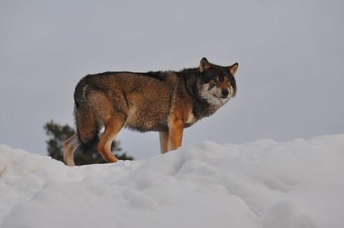 Wolf by RickardSjödén