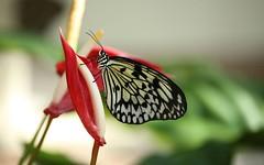Butterfly Background (Bruno Girin) Tags: ubuntuartwork