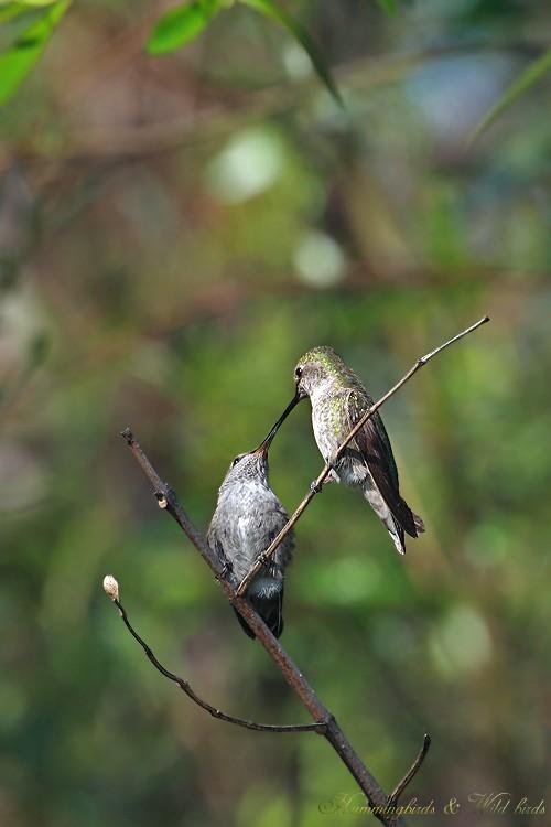 Anna's Hummingbird fledgling 091-11