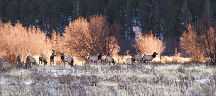 As the sun begins to set behind the nearby moraine in Rocky Mountain National Park the North American wapiti, or elk, begin to settle down for the night as the sunset lights the willow birch behind them.