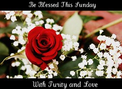 Be Blessed This Sunday, With Purity and Love (prayerfriends) Tags: california pink red white black flower green nature rose closeup spiral leaf petals backyard soft bokeh framed circles curves center calaveras picnik angelscamp cinemascope calaverascounty altaville babysbreathflowers