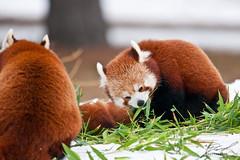 Nosh'n Red Panda