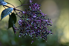 Purple Rain (AnyMotion) Tags: travel plants nature floral colors drops reisen costarica colours berries purple natur pflanzen lila beeren 2009 centralamerica farben tropfen anymotion cerrodelamuerte bej sangerardodedota canoneos5dmarkii 5d2 mupix republicofcostarica