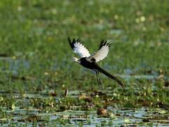水雉為第二級保育類野生動物