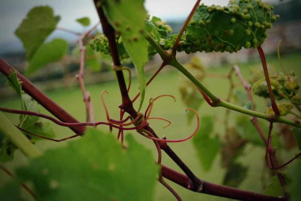 curly grape vines